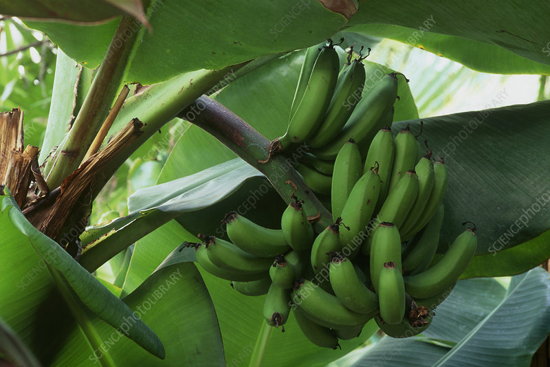 Green bananas on plant