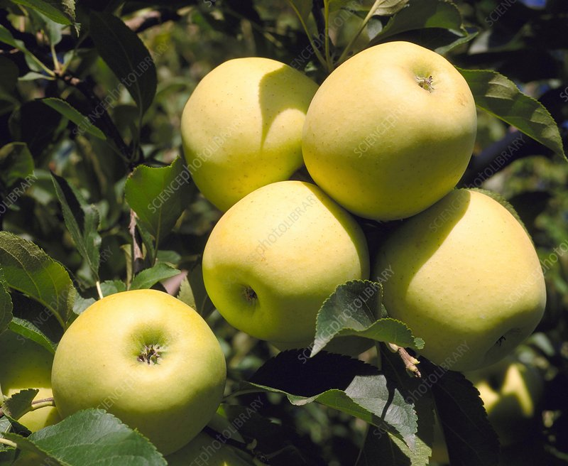 Golden Delicious apples on branch