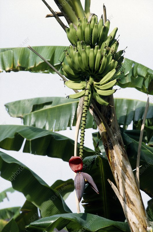 Banana fruit on tree