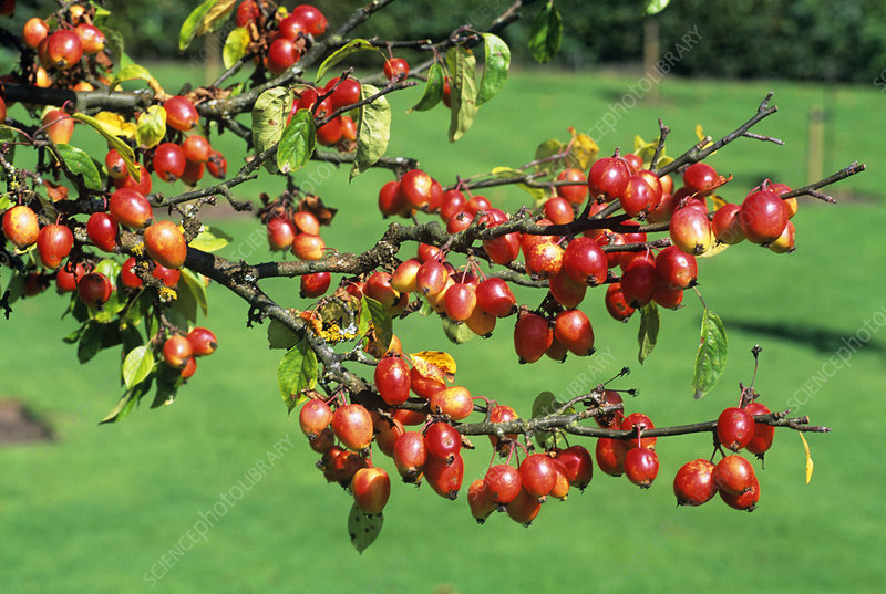 Crab apple fruit (Malus toringoides)
