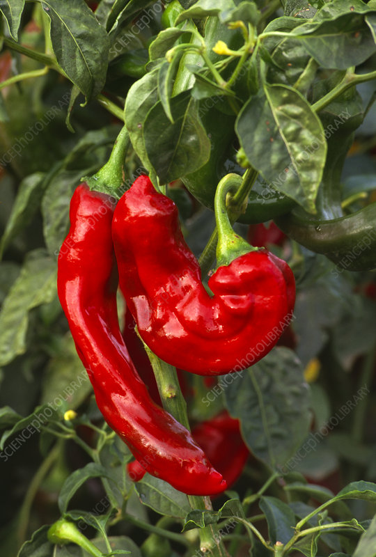 Red chilaca chilli peppers