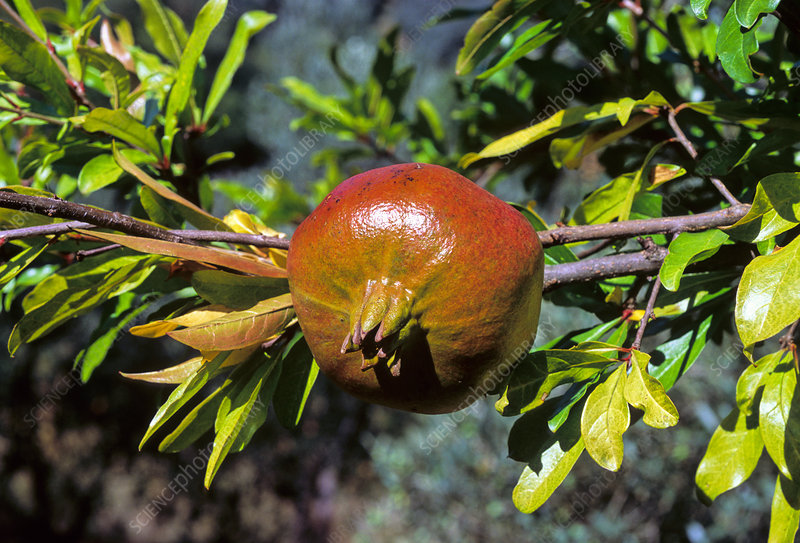 Pomegranate (Punica granatum)