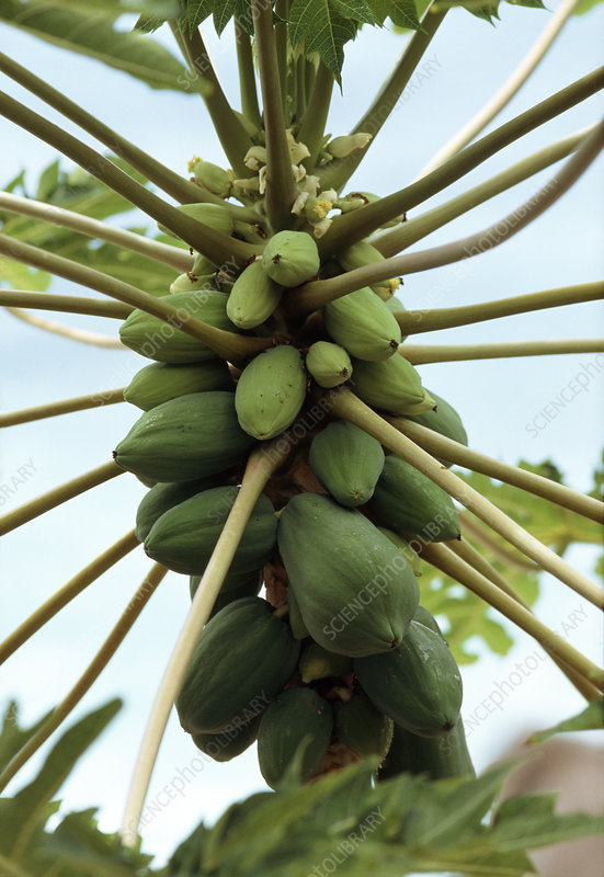 Papaya fruits (Carica papaya)