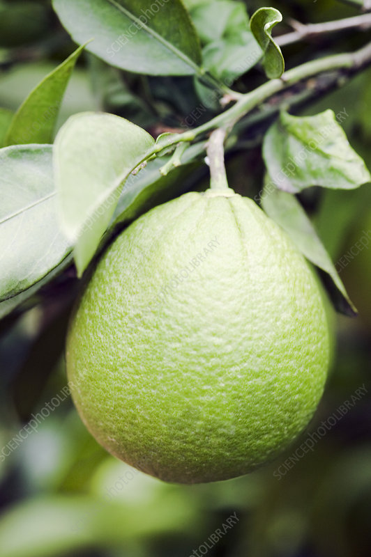 Unripe navel orange (Citrus sinensis)