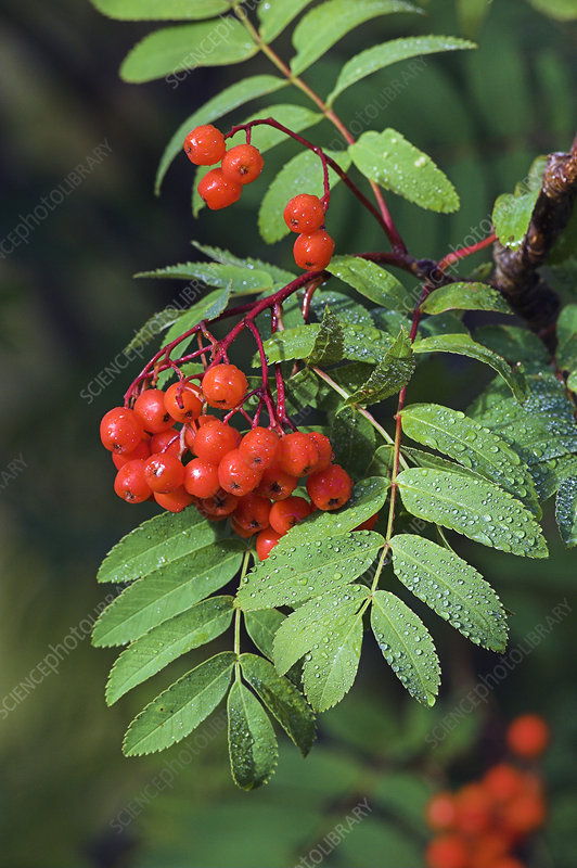 European rowan berries (Sorbus aucuparia)