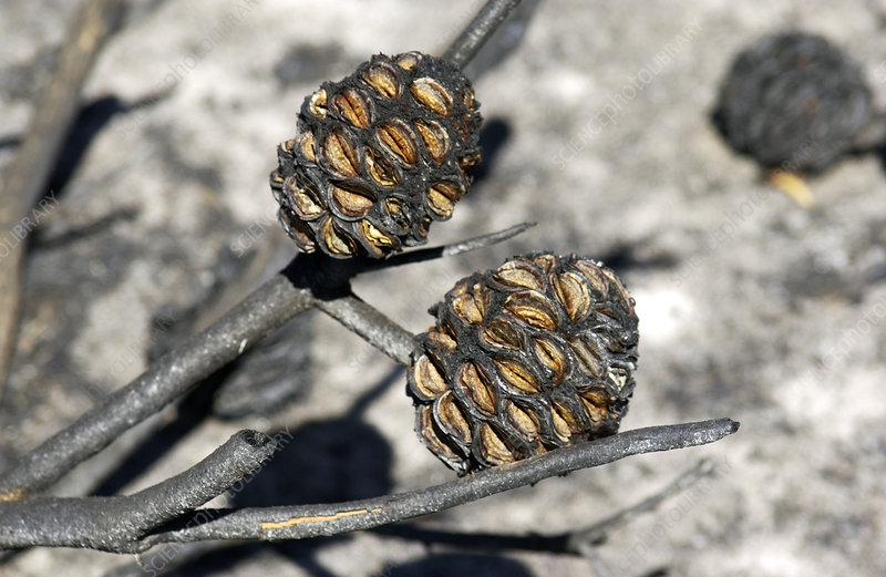 Seed cases opened by bush fire
