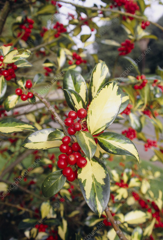 Holly (Ilex aquifolium 'Gold Flash')