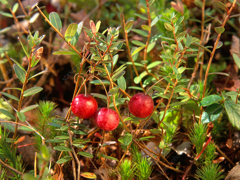 Large Cranberry