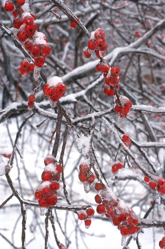 Winterberry in Snow and Ice