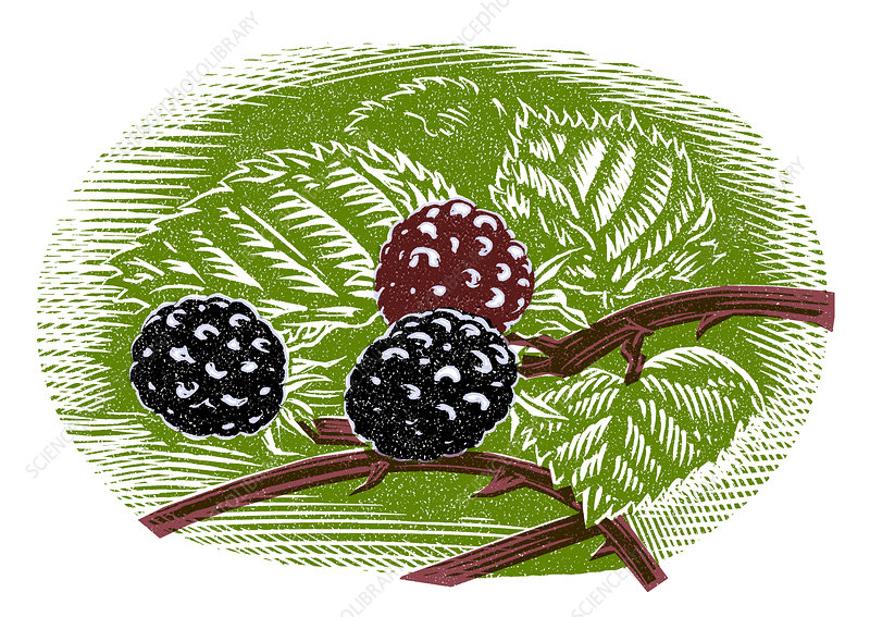 Blackberries, woodcut
