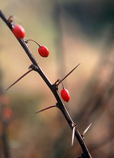 Barberry fruit (Berberis sp.)