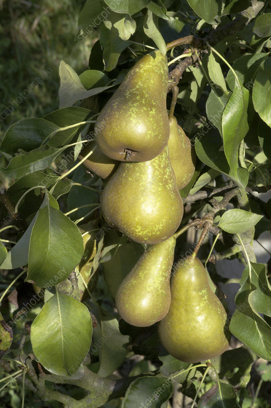 Pears (Pyrus communis 'Conference')