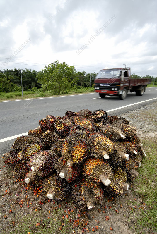 African oil palm fruits