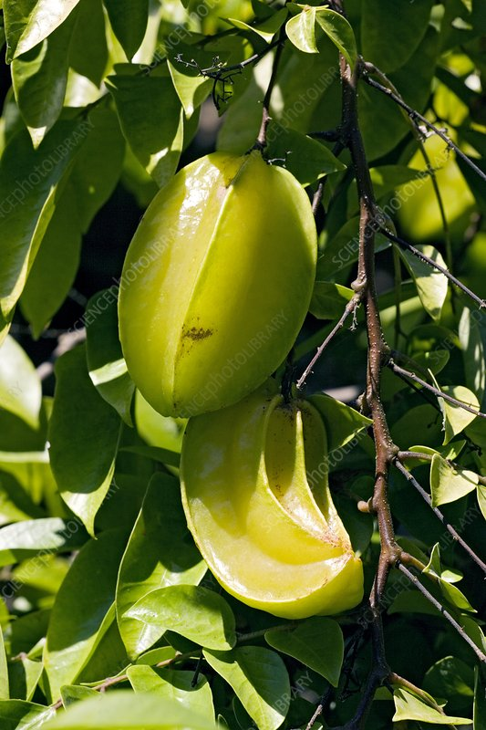 Star fruit (Averrhoa carambola)
