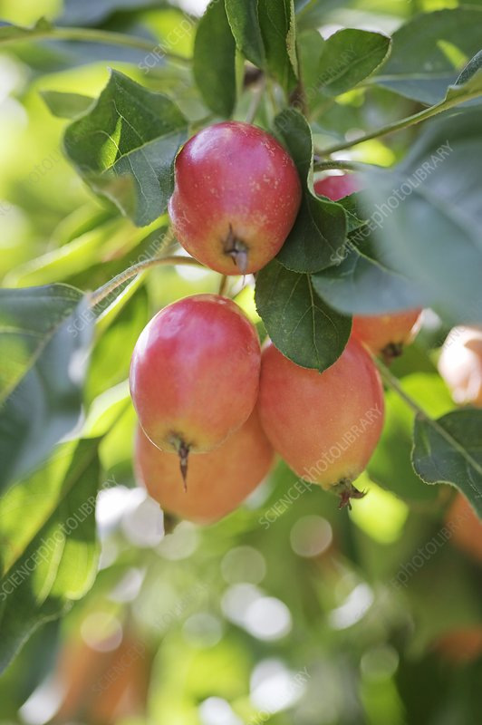 Crabapple fruits (Malus sp.)