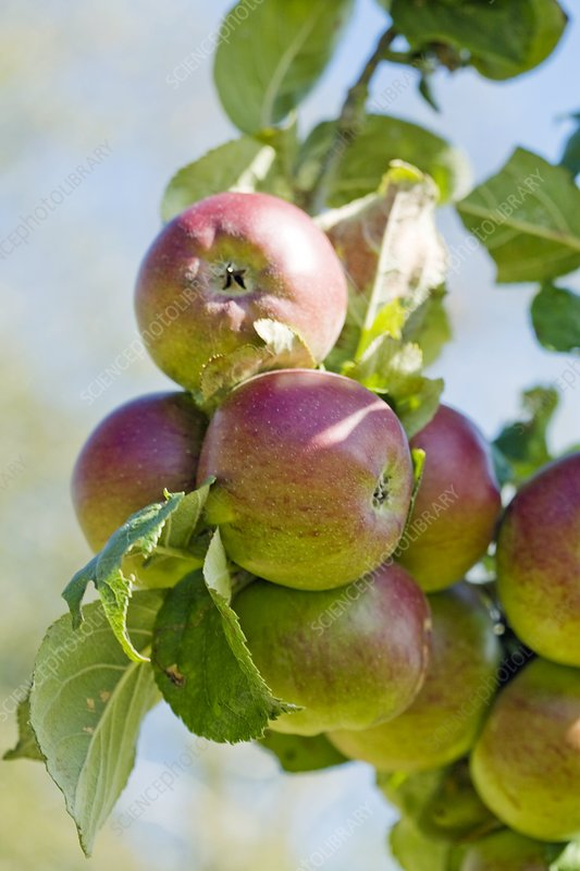 Apples (Malus domestica 'Norfolk Beefing')