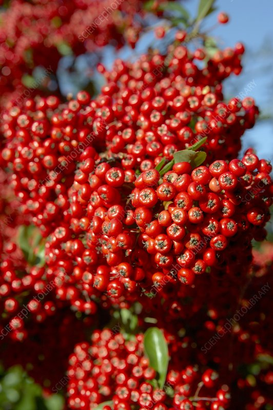 Firethorn berries (Pyracantha sp.)