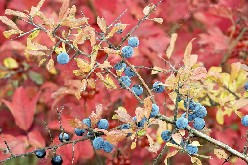 Sloe berries (Prunus spinosa)