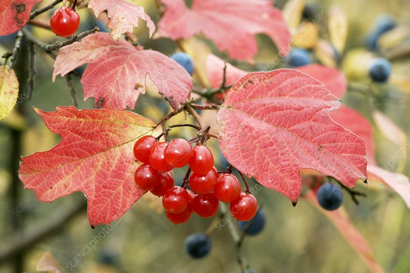 Guelder rose berries (Viburnum opulus)