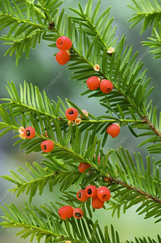 Yew tree berries (Taxus baccata)
