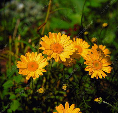 Golden Marguerite