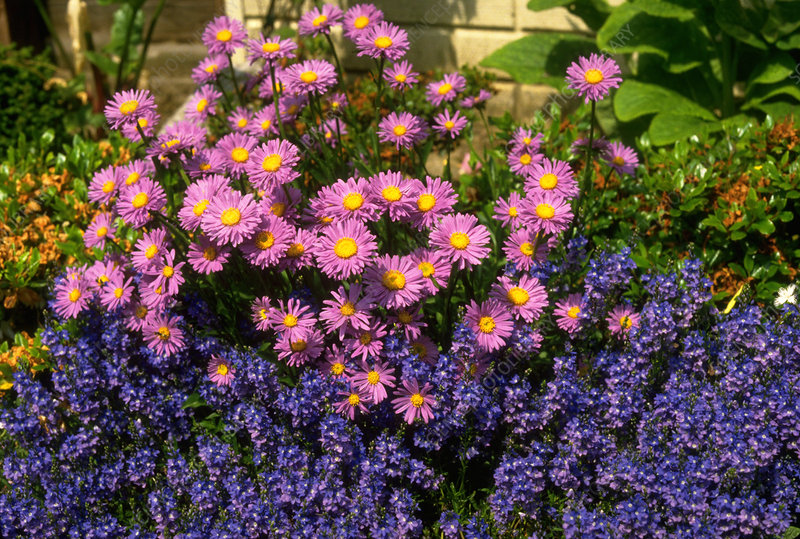 Aster alpinus with 12.