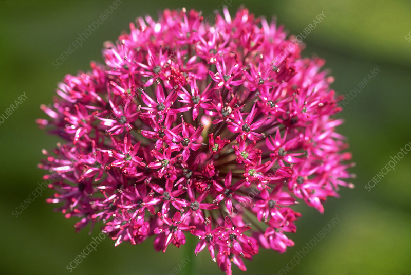 Allium hollandicum Purple Sensation.