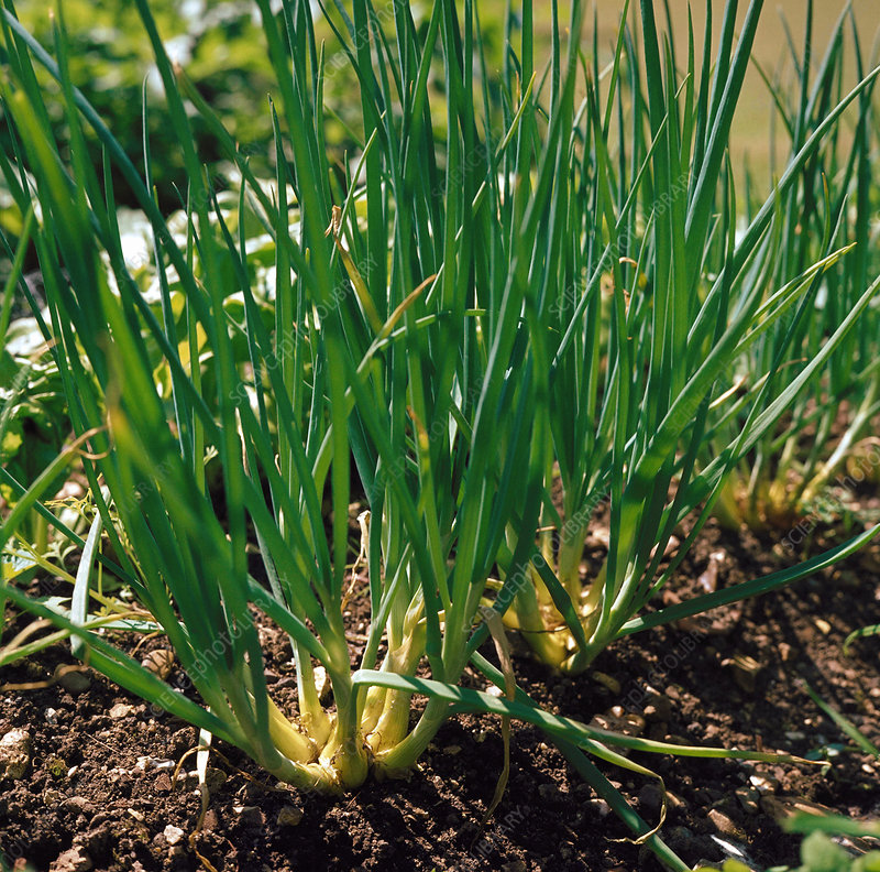 Spring Onion. (Allium cepa)