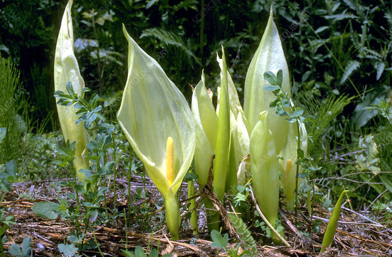 Lords and Ladies (Arum italicum)
