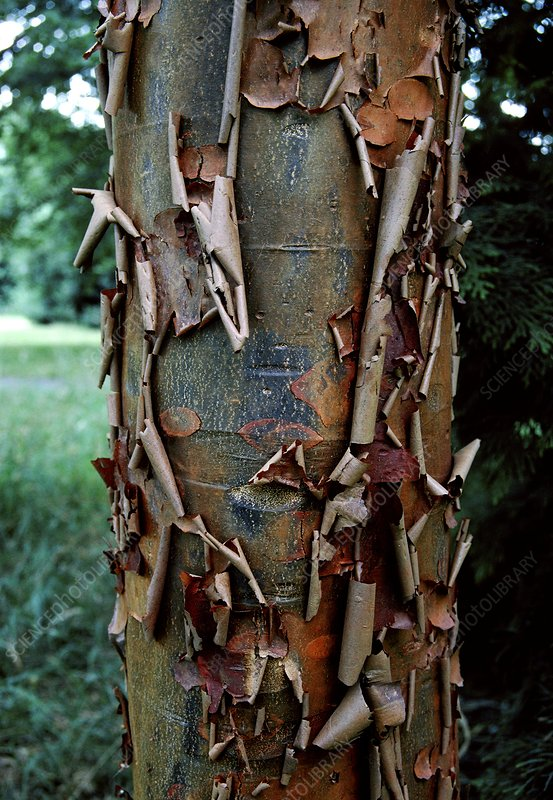 Paper- Bark Maple. (Acer griseum)