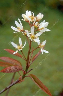 Shadbush. (Amelanchier canadensis)