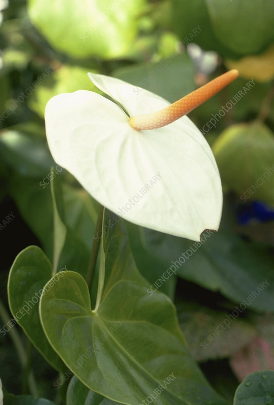 Flamingo Flower. (Anthurium andreanum- cultivar)