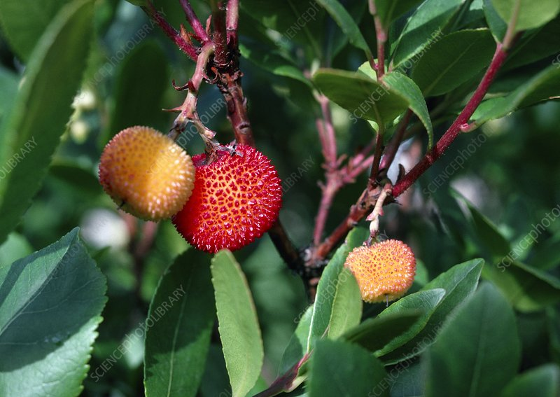Strawberry Tree. (Arbutus unedo)