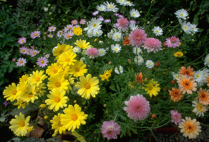 Marguerite. (Argyranthemum 'Cornish Gold')