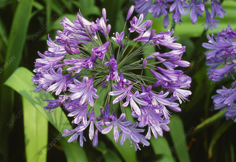 African Blue Lily. (Agapanthus praecox subsp. orientalis)
