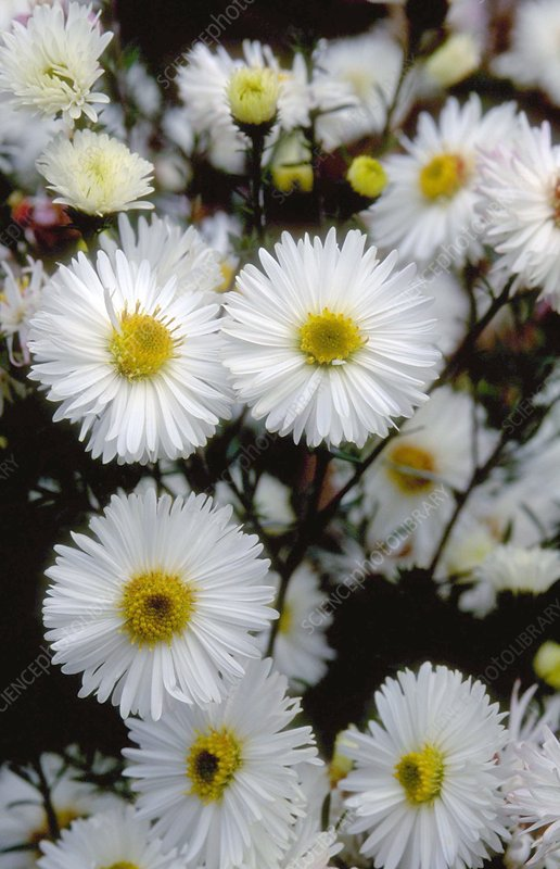 Michaelmas Daisy. (Aster novi-belgii 'White Ladies')