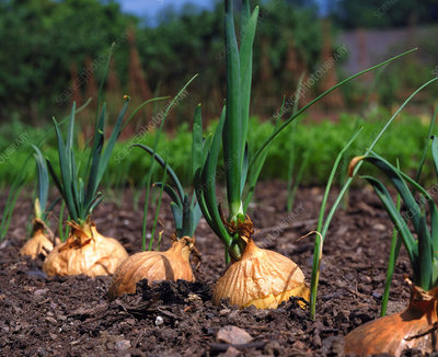 Onion. (Allium cepa)