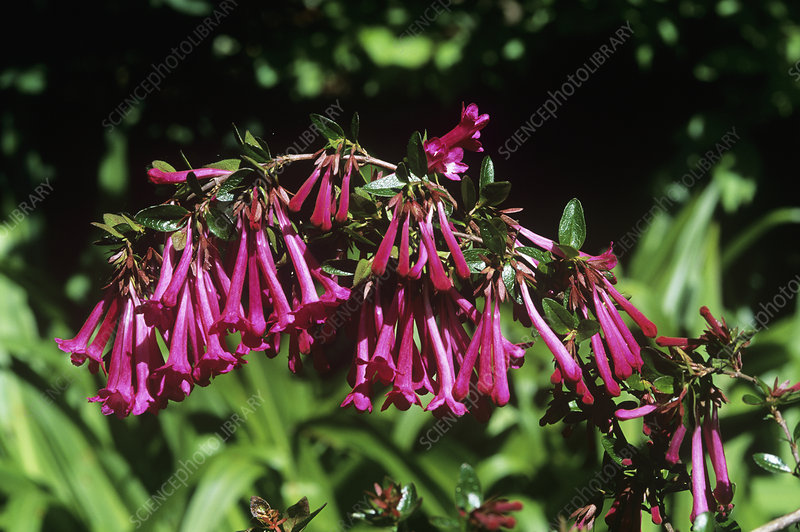 Mexican Abelia Abelia Floribunda Stock Image B8002600