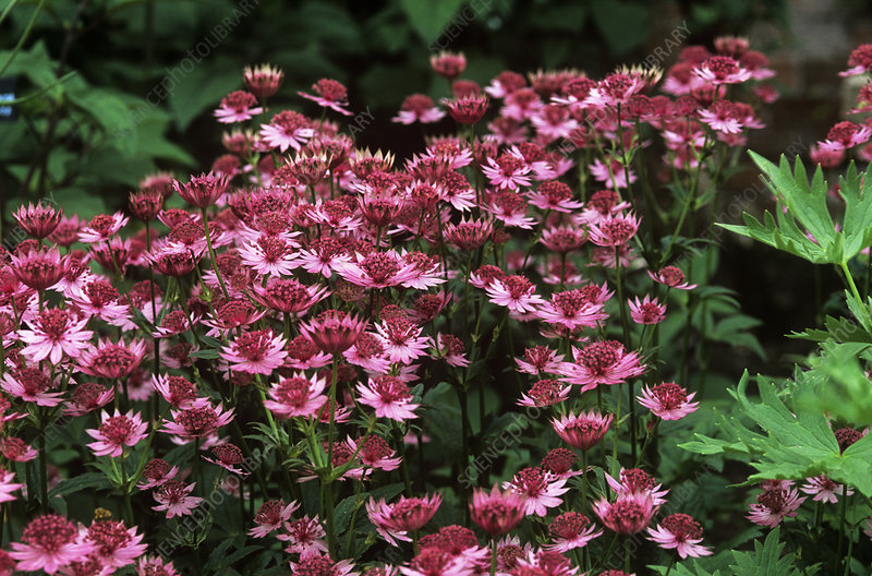 Masterwort (Astrantia major 'Roma')