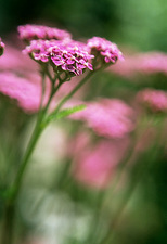 Yarrow (Achillea sp.)