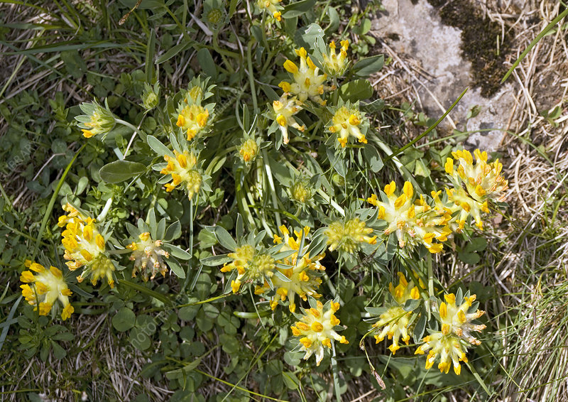 Alpine kidney vetch