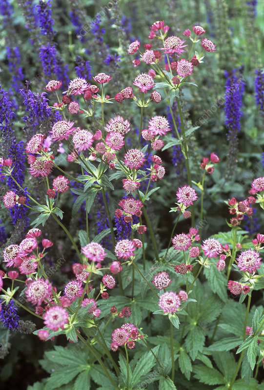 Masterwort (Astrantia major 'Lars')