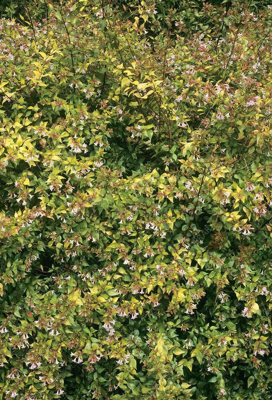 Abelia X Grandiflora Francis Mason Stock Image B8002732