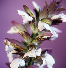 Acanthus flower spike (Acanthus sp.)