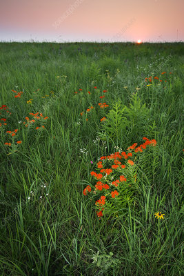 Butterfly Milkweed in meadow at sunrise