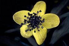 Yellow anemone in UV light