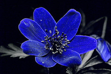 Wood anemone in UV light
