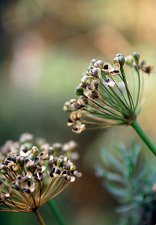 Allium seed heads (Allium sp.)