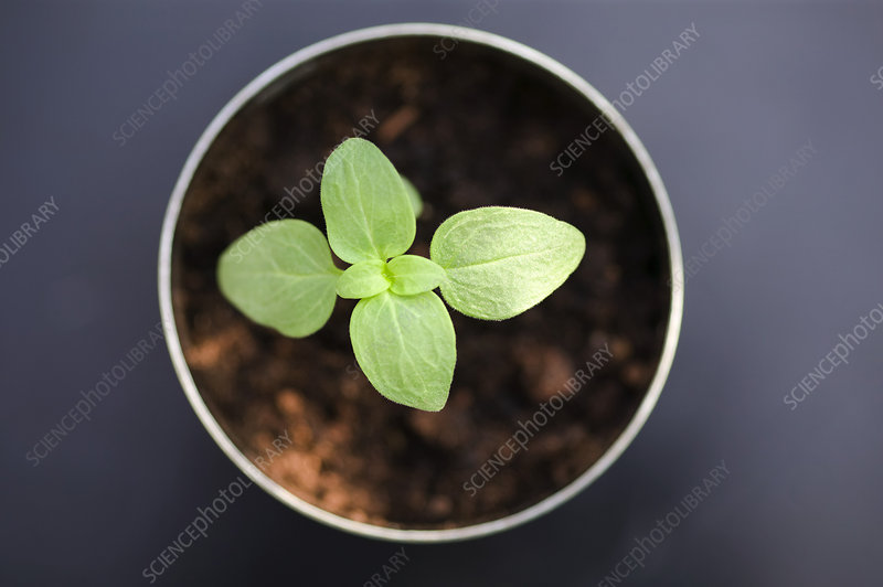 Snapdragon seedling (Antirrhinum sp.)