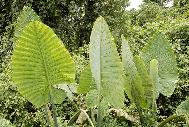 Aroid leaves (Alocasia sp.)